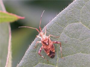 clouded plant bug adult