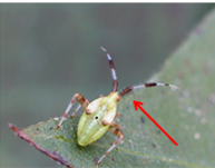 clouded plant bug nymph