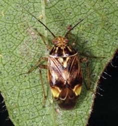 adult tarnished plant bug