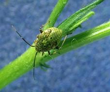 tarnished plant bug nymph