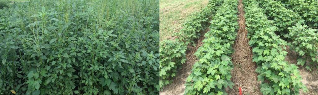 palmer pigweed vs. cover crop