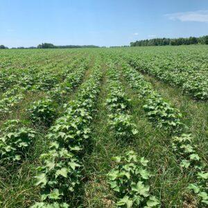 weedy cotton field