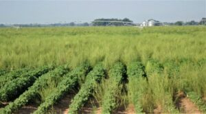 pigweed in a cotton field