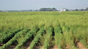 out-of-control pigweed in Texas