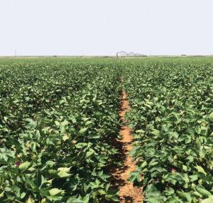 drip-irrigated texas cotton field
