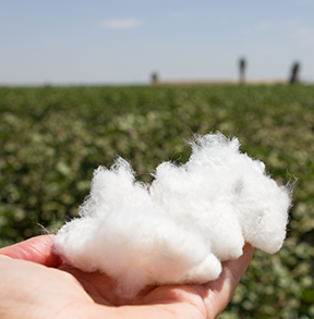 California pima cotton