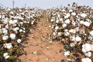 Sharpen herbicide cotton photo