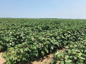 white flye farms cotton field