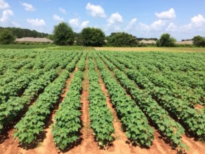OVT cotton trials