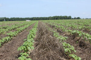 cotton with rye cover crop