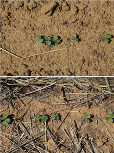 cotton seedlings with and without rye cover